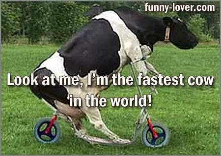 Look at me, I'm the fastest cow in the world!
