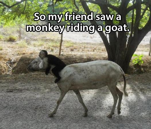 So my friend saw a monkey riding a goat.